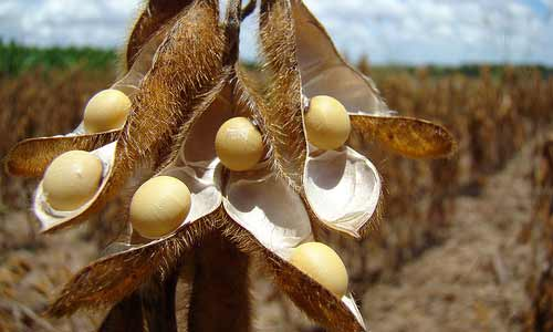 How to minimize spoilage during the storage of soybeans
