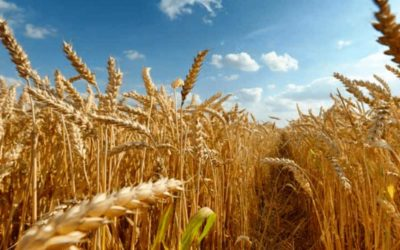 Storage and conditioning of wheat to maintain its quality