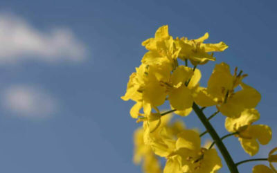 Storage and conditioning of rapeseed to maintain its quality